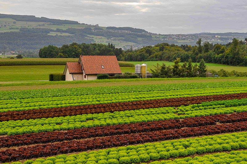 Salatfeld, Bauernhaus, Gemüseproduzent