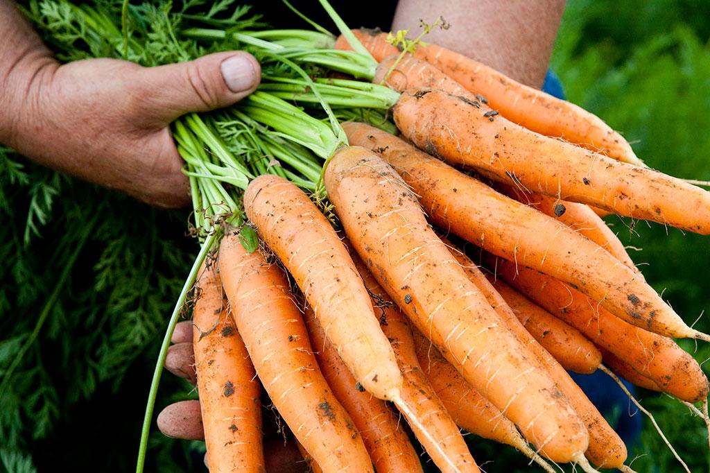 Bio Gemüse Karotten