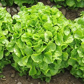 welFRIsch Eichblattsalat grün