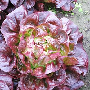 welFRIsch Eichblattsalat rot