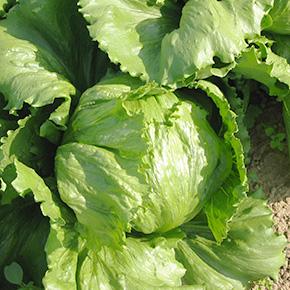 welFRIsch Eisberg Salat