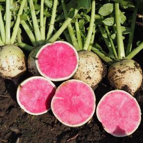 welFRIsch Wassermelonen-Rettich